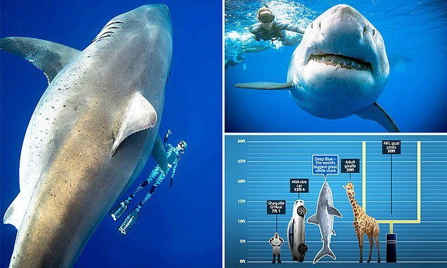 Divers Spot the World's Largest Ever Recorded Great White ...